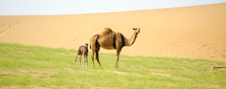 camel on the background of the desert